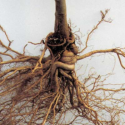 Image of Girdled roots