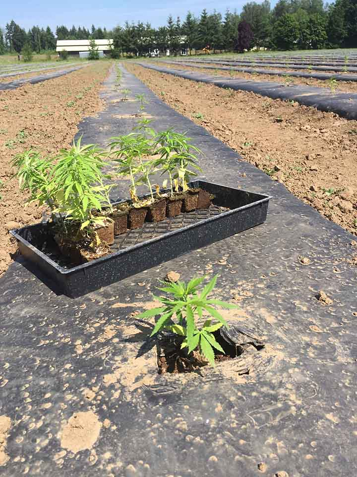 Hemp production using Fertilpots