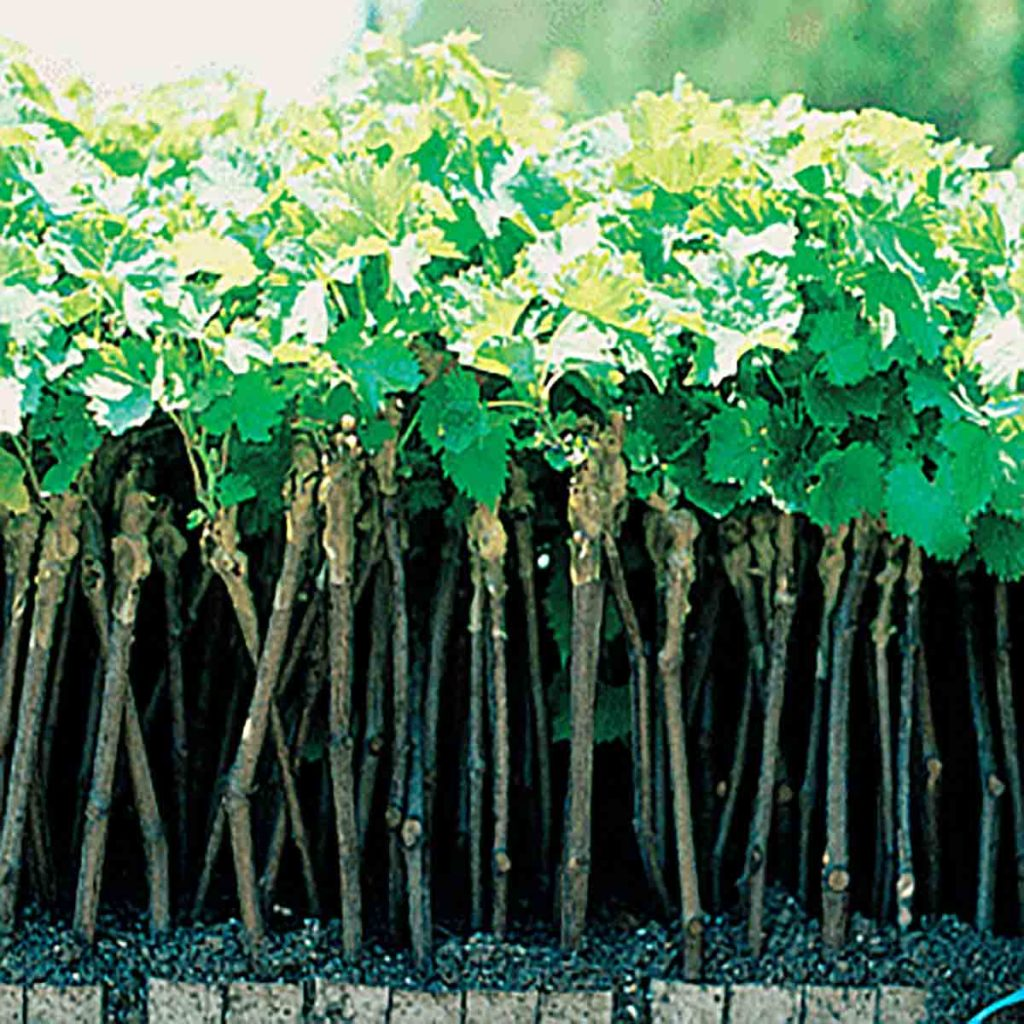 Wine grape cuttings